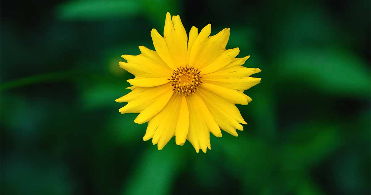 HOW TO GROW COREOPSIS PLANT Simple guide