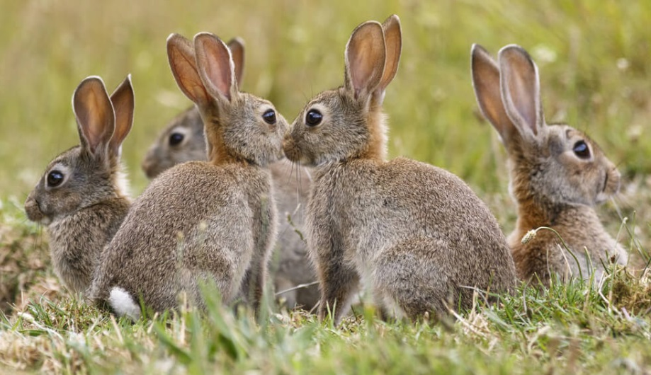 how to attract wild rabbits