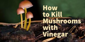 How to Get Rid of Mushrooms in the Lawn with Vinegar