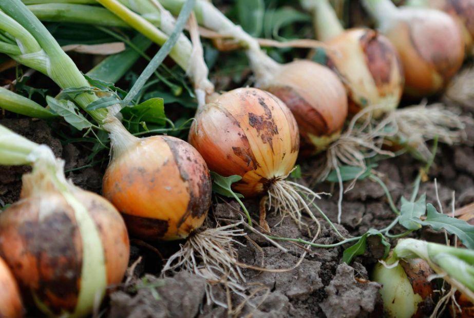 Do Onions grow underground?