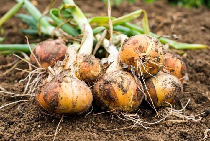 Onions growing underground